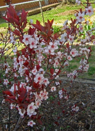 Black cherry bush