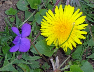 violet and dandelion