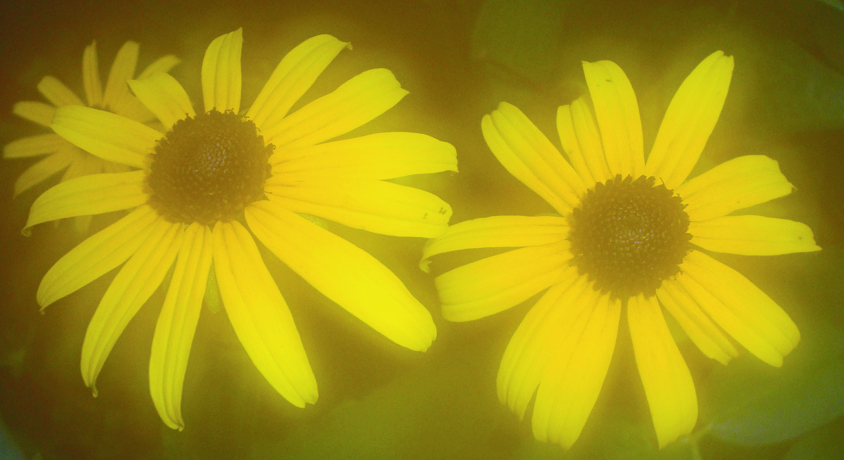 03 black eyed susans