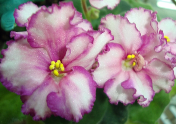 04 African violets