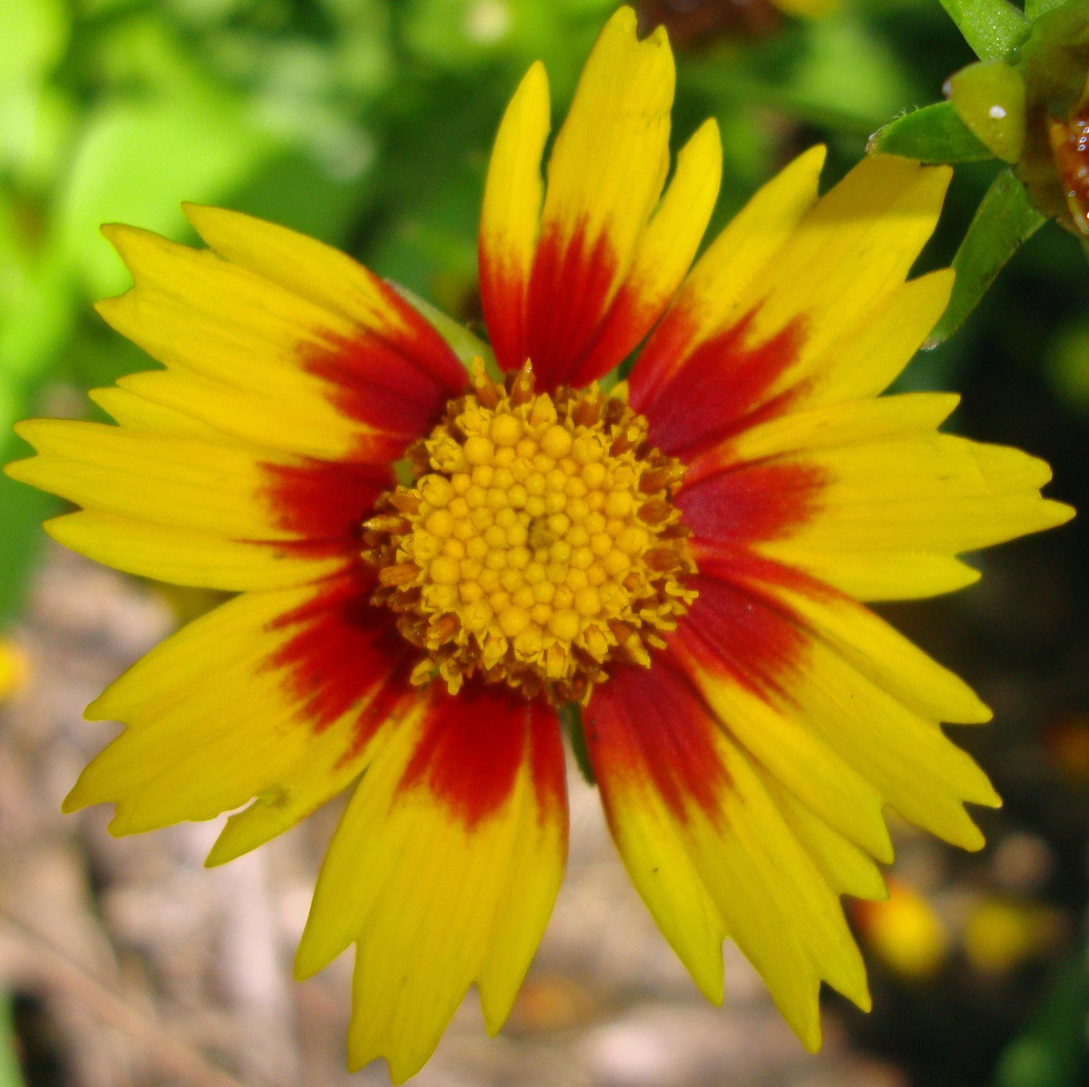 06 blanket flower