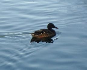 11 Ducks 2a