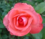 16 Rose 11a