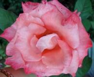 16 Rose 1a