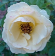 16 Rose 2a