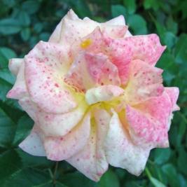 16 Rose 3b