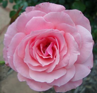 16 Rose 7a
