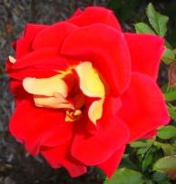 16 Rose 8a