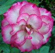 16 Rose 9a